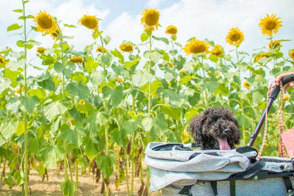 コムペットミリミリEGで向日葵畑へ